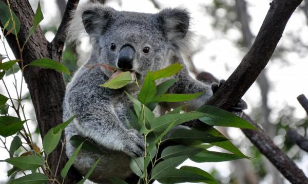 Ютуб (Youtube) коала